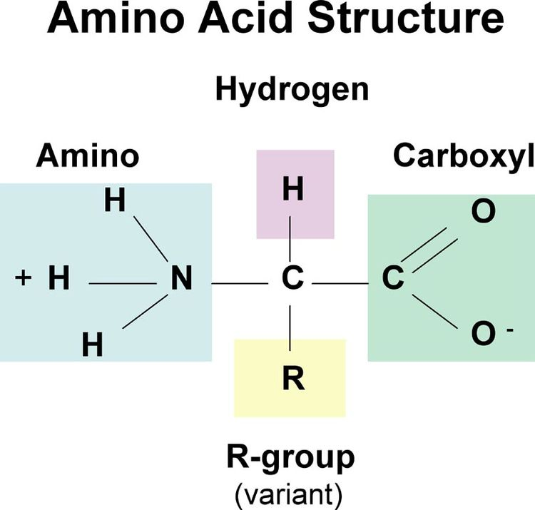The generic structure of an amino acid