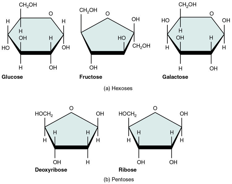 Common monosaccharides