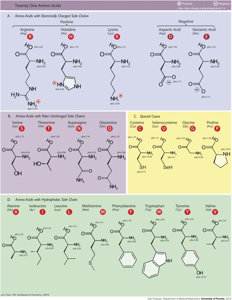 The 21 amino acids can combine to make a multitude of different proteins