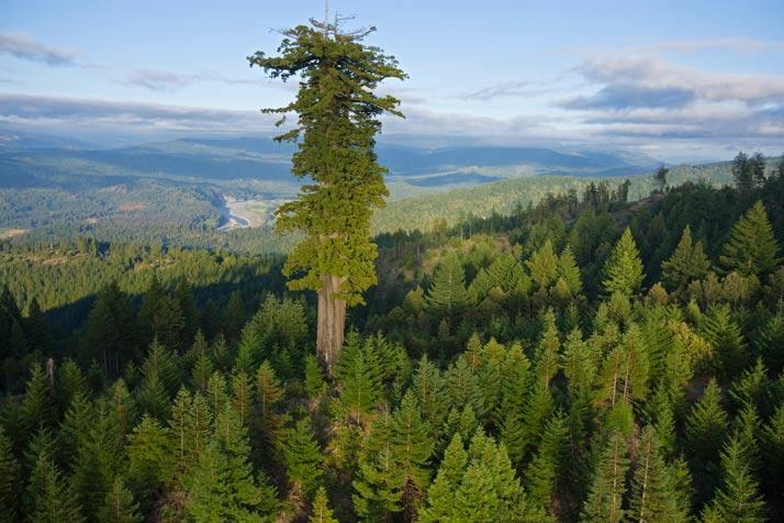 Centurion tree